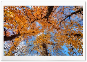 Golden Maple Trees HD Wide Wallpaper for Widescreen