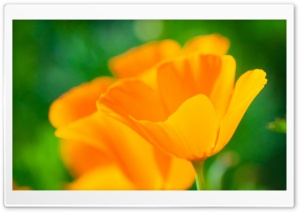 Golden Poppies HD Wide Wallpaper for Widescreen