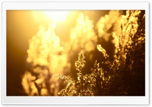Golden Reeds HD Wide Wallpaper for Widescreen