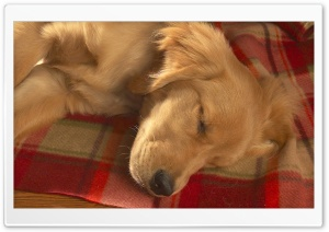 Golden Retreiver Sleeping On Red Plaid Blankets HD Wide Wallpaper for Widescreen
