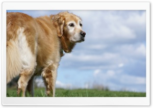 Golden Retriever HD Wide Wallpaper for Widescreen