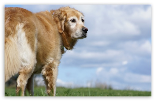 Golden Retriever HD wallpaper for Wide 16:10 Widescreen WHXGA WQXGA WUXGA WXGA ; Standard 4:3 5:4 3:2 Fullscreen UXGA XGA SVGA QSXGA SXGA DVGA HVGA HQVGA devices ( Apple PowerBook G4 iPhone 4 3G 3GS iPod Touch ) ; Tablet 1:1 ; iPad 1/2/Mini ; Mobile 4:3 3:2 16:9 5:4 - UXGA XGA SVGA DVGA HVGA HQVGA devices ( Apple PowerBook G4 iPhone 4 3G 3GS iPod Touch ) WQHD QWXGA 1080p 900p 720p QHD nHD QSXGA SXGA ;