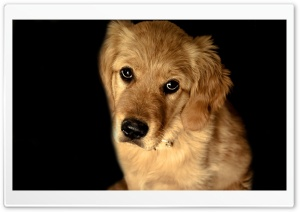 Golden Retriever Dog HD Wide Wallpaper for 4K UHD Widescreen desktop & smartphone