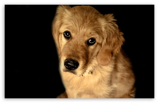 Golden Retriever Dog ❤ 4K UHD Wallpaper for Wide 16:10 5:3 Widescreen WHXGA WQXGA WUXGA WXGA WGA ; 4K UHD 16:9 Ultra High Definition 2160p 1440p 1080p 900p 720p ; Standard 4:3 5:4 3:2 Fullscreen UXGA XGA SVGA QSXGA SXGA DVGA HVGA HQVGA ( Apple PowerBook G4 iPhone 4 3G 3GS iPod Touch ) ; Tablet 1:1 ; iPad 1/2/Mini ; Mobile 4:3 5:3 3:2 16:9 5:4 - UXGA XGA SVGA WGA DVGA HVGA HQVGA ( Apple PowerBook G4 iPhone 4 3G 3GS iPod Touch ) 2160p 1440p 1080p 900p 720p QSXGA SXGA ;