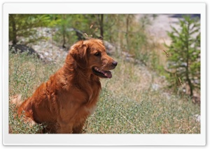 Golden Retriever Dog HD Wide Wallpaper for Widescreen