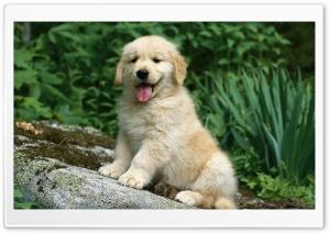 Golden Retriever In A Garden HD Wide Wallpaper for 4K UHD Widescreen desktop & smartphone