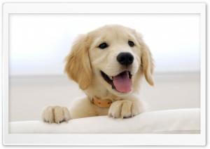 Golden Retriever Puppy Ultra HD Wallpaper for 4K UHD Widescreen desktop, tablet & smartphone