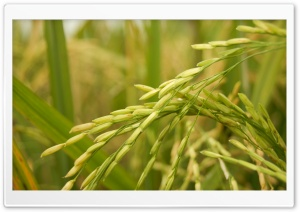 Golden Rice HD Wide Wallpaper for Widescreen