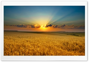 Golden Summer Field HD Wide Wallpaper for Widescreen