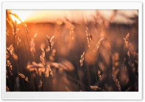 Golden Sun Rays Field HD Wide Wallpaper for 4K UHD Widescreen desktop & smartphone