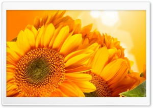 Golden Sunflowers HD Wide Wallpaper for Widescreen