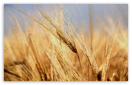 Golden Wheat Ears ❤ 4K UHD Wallpaper for Wide 16:10 5:3 Widescreen WHXGA WQXGA WUXGA WXGA WGA ; 4K UHD 16:9 Ultra High Definition 2160p 1440p 1080p 900p 720p ; UHD 16:9 2160p 1440p 1080p 900p 720p ; Standard 4:3 5:4 3:2 Fullscreen UXGA XGA SVGA QSXGA SXGA DVGA HVGA HQVGA ( Apple PowerBook G4 iPhone 4 3G 3GS iPod Touch ) ; Tablet 1:1 ; iPad 1/2/Mini ; Mobile 4:3 5:3 3:2 16:9 5:4 - UXGA XGA SVGA WGA DVGA HVGA HQVGA ( Apple PowerBook G4 iPhone 4 3G 3GS iPod Touch ) 2160p 1440p 1080p 900p 720p QSXGA SXGA ;