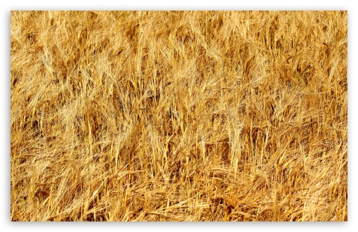 Golden Wheat Field HD wallpaper for Wide 16:10 5:3 Widescreen WHXGA WQXGA WUXGA WXGA WGA ; HD 16:9 High Definition WQHD QWXGA 1080p 900p 720p QHD nHD ; UHD 16:9 WQHD QWXGA 1080p 900p 720p QHD nHD ; Standard 4:3 5:4 3:2 Fullscreen UXGA XGA SVGA QSXGA SXGA DVGA HVGA HQVGA devices ( Apple PowerBook G4 iPhone 4 3G 3GS iPod Touch ) ; Smartphone 5:3 WGA ; Tablet 1:1 ; iPad 1/2/Mini ; Mobile 4:3 5:3 3:2 16:9 5:4 - UXGA XGA SVGA WGA DVGA HVGA HQVGA devices ( Apple PowerBook G4 iPhone 4 3G 3GS iPod Touch ) WQHD QWXGA 1080p 900p 720p QHD nHD QSXGA SXGA ; Dual 16:10 5:3 16:9 4:3 5:4 WHXGA WQXGA WUXGA WXGA WGA WQHD QWXGA 1080p 900p 720p QHD nHD UXGA XGA SVGA QSXGA SXGA ;