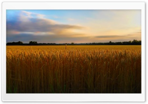 Golden Wheat FIeld HD Wide Wallpaper for 4K UHD Widescreen desktop & smartphone