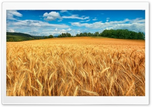 Golden Wheat Field HD Wide Wallpaper for Widescreen