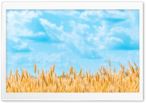 Golden Wheat Field Ultra HD Wallpaper for 4K UHD Widescreen desktop, tablet & smartphone