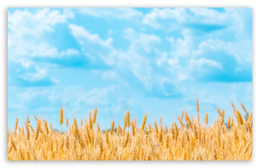 Golden Wheat Field UltraHD Wallpaper for Wide 16:10 5:3 Widescreen WHXGA WQXGA WUXGA WXGA WGA ; UltraWide 21:9 24:10 ; 8K UHD TV 16:9 Ultra High Definition 2160p 1440p 1080p 900p 720p ; UHD 16:9 2160p 1440p 1080p 900p 720p ; Standard 4:3 5:4 3:2 Fullscreen UXGA XGA SVGA QSXGA SXGA DVGA HVGA HQVGA ( Apple PowerBook G4 iPhone 4 3G 3GS iPod Touch ) ; Smartphone 16:9 3:2 5:3 2160p 1440p 1080p 900p 720p DVGA HVGA HQVGA ( Apple PowerBook G4 iPhone 4 3G 3GS iPod Touch ) WGA ; Tablet 1:1 ; iPad 1/2/Mini ; Mobile 4:3 5:3 3:2 16:9 5:4 - UXGA XGA SVGA WGA DVGA HVGA HQVGA ( Apple PowerBook G4 iPhone 4 3G 3GS iPod Touch ) 2160p 1440p 1080p 900p 720p QSXGA SXGA ;