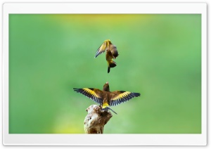 Goldfinch Birds HD Wide Wallpaper for Widescreen