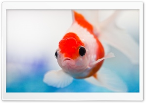 Goldfish Aquarium HD Wide Wallpaper for Widescreen