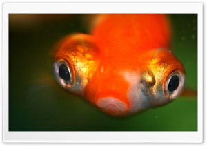Goldfish Protruding Eyes HD Wide Wallpaper for Widescreen