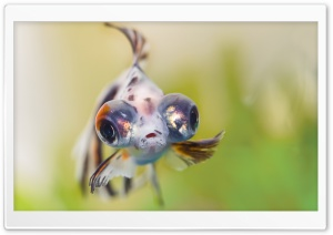 Goldfish Telescope Eyes HD Wide Wallpaper for Widescreen