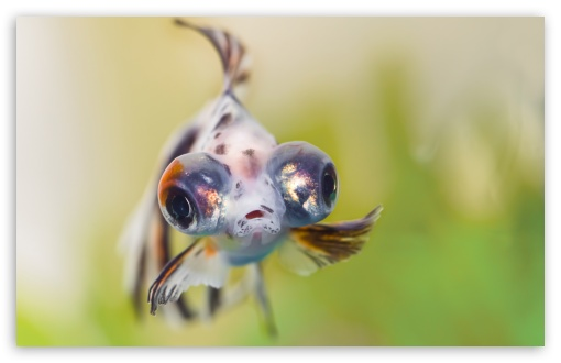 Goldfish Telescope Eyes ❤ 4K UHD Wallpaper for Wide 16:10 5:3 Widescreen WHXGA WQXGA WUXGA WXGA WGA ; UltraWide 21:9 24:10 ; 4K UHD 16:9 Ultra High Definition 2160p 1440p 1080p 900p 720p ; UHD 16:9 2160p 1440p 1080p 900p 720p ; Standard 4:3 5:4 3:2 Fullscreen UXGA XGA SVGA QSXGA SXGA DVGA HVGA HQVGA ( Apple PowerBook G4 iPhone 4 3G 3GS iPod Touch ) ; Smartphone 16:9 3:2 5:3 2160p 1440p 1080p 900p 720p DVGA HVGA HQVGA ( Apple PowerBook G4 iPhone 4 3G 3GS iPod Touch ) WGA ; Tablet 1:1 ; iPad 1/2/Mini ; Mobile 4:3 5:3 3:2 16:9 5:4 - UXGA XGA SVGA WGA DVGA HVGA HQVGA ( Apple PowerBook G4 iPhone 4 3G 3GS iPod Touch ) 2160p 1440p 1080p 900p 720p QSXGA SXGA ; Dual 16:10 5:3 16:9 4:3 5:4 3:2 WHXGA WQXGA WUXGA WXGA WGA 2160p 1440p 1080p 900p 720p UXGA XGA SVGA QSXGA SXGA DVGA HVGA HQVGA ( Apple PowerBook G4 iPhone 4 3G 3GS iPod Touch ) ;