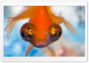Goldfish with Big Eyes HD Wide Wallpaper for 4K UHD Widescreen desktop & smartphone