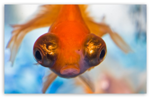 Goldfish with Big Eyes ❤ 4K UHD Wallpaper for Wide 16:10 5:3 Widescreen WHXGA WQXGA WUXGA WXGA WGA ; UltraWide 21:9 ; 4K UHD 16:9 Ultra High Definition 2160p 1440p 1080p 900p 720p ; Standard 4:3 5:4 3:2 Fullscreen UXGA XGA SVGA QSXGA SXGA DVGA HVGA HQVGA ( Apple PowerBook G4 iPhone 4 3G 3GS iPod Touch ) ; Tablet 1:1 ; iPad 1/2/Mini ; Mobile 4:3 5:3 3:2 16:9 5:4 - UXGA XGA SVGA WGA DVGA HVGA HQVGA ( Apple PowerBook G4 iPhone 4 3G 3GS iPod Touch ) 2160p 1440p 1080p 900p 720p QSXGA SXGA ;