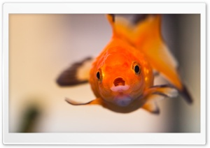 Goldfish Worried Face HD Wide Wallpaper for 4K UHD Widescreen desktop & smartphone