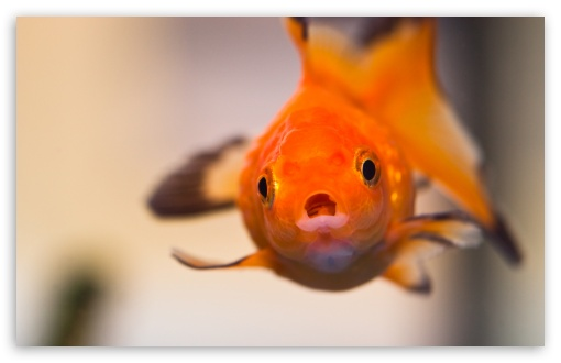 Goldfish Worried Face ❤ 4K UHD Wallpaper for Wide 16:10 5:3 Widescreen WHXGA WQXGA WUXGA WXGA WGA ; UltraWide 21:9 ; 4K UHD 16:9 Ultra High Definition 2160p 1440p 1080p 900p 720p ; Standard 4:3 5:4 3:2 Fullscreen UXGA XGA SVGA QSXGA SXGA DVGA HVGA HQVGA ( Apple PowerBook G4 iPhone 4 3G 3GS iPod Touch ) ; Smartphone 16:9 3:2 5:3 2160p 1440p 1080p 900p 720p DVGA HVGA HQVGA ( Apple PowerBook G4 iPhone 4 3G 3GS iPod Touch ) WGA ; Tablet 1:1 ; iPad 1/2/Mini ; Mobile 4:3 5:3 3:2 16:9 5:4 - UXGA XGA SVGA WGA DVGA HVGA HQVGA ( Apple PowerBook G4 iPhone 4 3G 3GS iPod Touch ) 2160p 1440p 1080p 900p 720p QSXGA SXGA ;