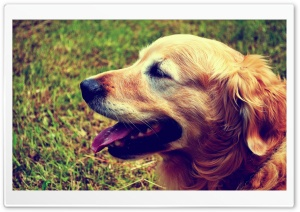 Goldie the Retriever HD Wide Wallpaper for Widescreen