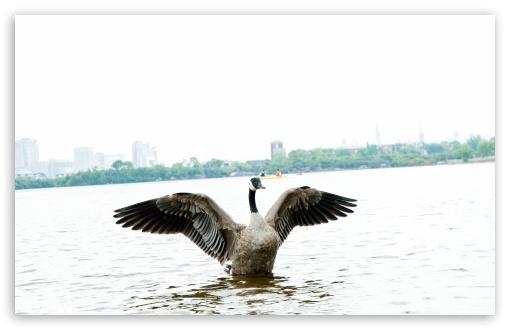 Goose ❤ 4K UHD Wallpaper for Wide 16:10 5:3 Widescreen WHXGA WQXGA WUXGA WXGA WGA ; 4K UHD 16:9 Ultra High Definition 2160p 1440p 1080p 900p 720p ; UHD 16:9 2160p 1440p 1080p 900p 720p ; Standard 4:3 5:4 3:2 Fullscreen UXGA XGA SVGA QSXGA SXGA DVGA HVGA HQVGA ( Apple PowerBook G4 iPhone 4 3G 3GS iPod Touch ) ; Tablet 1:1 ; iPad 1/2/Mini ; Mobile 4:3 5:3 3:2 16:9 5:4 - UXGA XGA SVGA WGA DVGA HVGA HQVGA ( Apple PowerBook G4 iPhone 4 3G 3GS iPod Touch ) 2160p 1440p 1080p 900p 720p QSXGA SXGA ; Dual 4:3 5:4 UXGA XGA SVGA QSXGA SXGA ;
