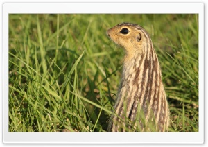 Gopher HD Wide Wallpaper for Widescreen