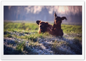Gordon Setter Running In Field HD Wide Wallpaper for Widescreen