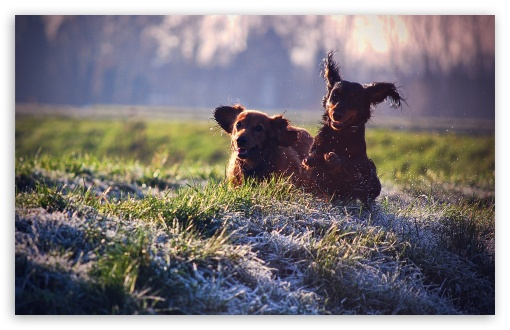Gordon Setter Running In Field HD wallpaper for Wide 16:10 5:3 Widescreen WHXGA WQXGA WUXGA WXGA WGA ; HD 16:9 High Definition WQHD QWXGA 1080p 900p 720p QHD nHD ; Standard 4:3 5:4 3:2 Fullscreen UXGA XGA SVGA QSXGA SXGA DVGA HVGA HQVGA devices ( Apple PowerBook G4 iPhone 4 3G 3GS iPod Touch ) ; Tablet 1:1 ; iPad 1/2/Mini ; Mobile 4:3 5:3 3:2 16:9 5:4 - UXGA XGA SVGA WGA DVGA HVGA HQVGA devices ( Apple PowerBook G4 iPhone 4 3G 3GS iPod Touch ) WQHD QWXGA 1080p 900p 720p QHD nHD QSXGA SXGA ; Dual 5:4 QSXGA SXGA ;