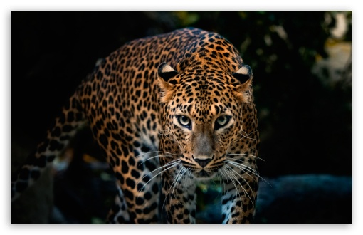 Gorgeous Jaguar ❤ 4K UHD Wallpaper for Wide 16:10 5:3 Widescreen WHXGA WQXGA WUXGA WXGA WGA ; 4K UHD 16:9 Ultra High Definition 2160p 1440p 1080p 900p 720p ; Standard 4:3 5:4 3:2 Fullscreen UXGA XGA SVGA QSXGA SXGA DVGA HVGA HQVGA ( Apple PowerBook G4 iPhone 4 3G 3GS iPod Touch ) ; Smartphone 16:9 3:2 5:3 2160p 1440p 1080p 900p 720p DVGA HVGA HQVGA ( Apple PowerBook G4 iPhone 4 3G 3GS iPod Touch ) WGA ; Tablet 1:1 ; iPad 1/2/Mini ; Mobile 4:3 5:3 3:2 16:9 5:4 - UXGA XGA SVGA WGA DVGA HVGA HQVGA ( Apple PowerBook G4 iPhone 4 3G 3GS iPod Touch ) 2160p 1440p 1080p 900p 720p QSXGA SXGA ;