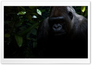 Gorilla HD Wide Wallpaper for Widescreen