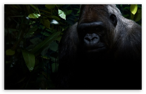 Gorilla ❤ 4K UHD Wallpaper for Wide 16:10 5:3 Widescreen WHXGA WQXGA WUXGA WXGA WGA ; 4K UHD 16:9 Ultra High Definition 2160p 1440p 1080p 900p 720p ; Standard 4:3 5:4 3:2 Fullscreen UXGA XGA SVGA QSXGA SXGA DVGA HVGA HQVGA ( Apple PowerBook G4 iPhone 4 3G 3GS iPod Touch ) ; Tablet 1:1 ; iPad 1/2/Mini ; Mobile 4:3 5:3 3:2 16:9 5:4 - UXGA XGA SVGA WGA DVGA HVGA HQVGA ( Apple PowerBook G4 iPhone 4 3G 3GS iPod Touch ) 2160p 1440p 1080p 900p 720p QSXGA SXGA ;