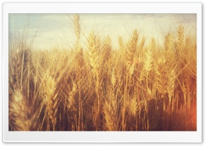Grain Field HD Wide Wallpaper for Widescreen