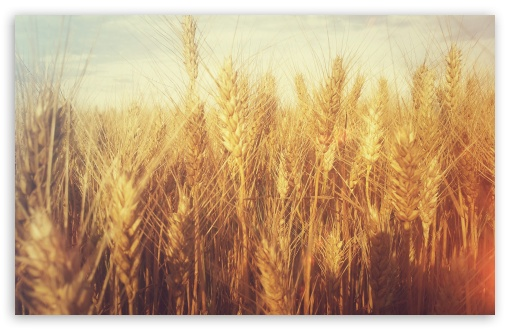Grain Field HD wallpaper for Wide 16:10 5:3 Widescreen WHXGA WQXGA WUXGA WXGA WGA ; HD 16:9 High Definition WQHD QWXGA 1080p 900p 720p QHD nHD ; Standard 4:3 5:4 3:2 Fullscreen UXGA XGA SVGA QSXGA SXGA DVGA HVGA HQVGA devices ( Apple PowerBook G4 iPhone 4 3G 3GS iPod Touch ) ; Tablet 1:1 ; iPad 1/2/Mini ; Mobile 4:3 5:3 3:2 16:9 5:4 - UXGA XGA SVGA WGA DVGA HVGA HQVGA devices ( Apple PowerBook G4 iPhone 4 3G 3GS iPod Touch ) WQHD QWXGA 1080p 900p 720p QHD nHD QSXGA SXGA ;