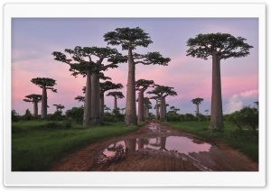 Grandidier's Baobab Forest Morondava Madagascar HD Wide Wallpaper for Widescreen