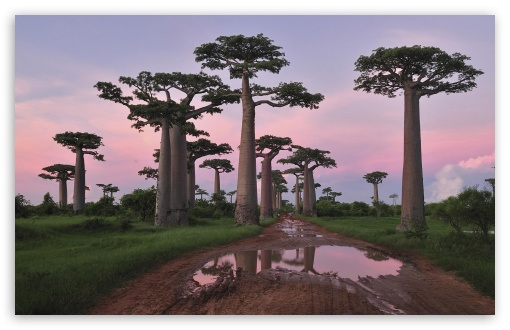 Grandidier's Baobab Forest Morondava Madagascar HD wallpaper for Wide 16:10 5:3 Widescreen WHXGA WQXGA WUXGA WXGA WGA ; HD 16:9 High Definition WQHD QWXGA 1080p 900p 720p QHD nHD ; Standard 3:2 Fullscreen DVGA HVGA HQVGA devices ( Apple PowerBook G4 iPhone 4 3G 3GS iPod Touch ) ; Mobile 5:3 3:2 16:9 - WGA DVGA HVGA HQVGA devices ( Apple PowerBook G4 iPhone 4 3G 3GS iPod Touch ) WQHD QWXGA 1080p 900p 720p QHD nHD ;