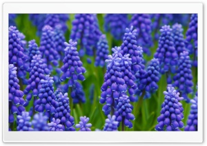 Grape Hyacinth HD Wide Wallpaper for Widescreen