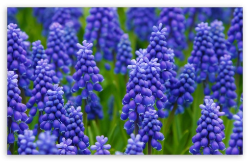 Grape Hyacinth HD wallpaper for Wide 16:10 5:3 Widescreen WHXGA WQXGA WUXGA WXGA WGA ; HD 16:9 High Definition WQHD QWXGA 1080p 900p 720p QHD nHD ; Standard 4:3 5:4 3:2 Fullscreen UXGA XGA SVGA QSXGA SXGA DVGA HVGA HQVGA devices ( Apple PowerBook G4 iPhone 4 3G 3GS iPod Touch ) ; Tablet 1:1 ; iPad 1/2/Mini ; Mobile 4:3 5:3 3:2 16:9 5:4 - UXGA XGA SVGA WGA DVGA HVGA HQVGA devices ( Apple PowerBook G4 iPhone 4 3G 3GS iPod Touch ) WQHD QWXGA 1080p 900p 720p QHD nHD QSXGA SXGA ;