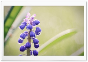 Grape Hyacinth Flower HD Wide Wallpaper for Widescreen