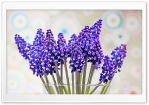 Grape Hyacinth Flowers HD Wide Wallpaper for Widescreen