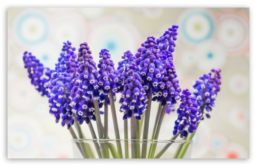 Grape Hyacinth Flowers ❤ 4K UHD Wallpaper for Wide 16:10 5:3 Widescreen WHXGA WQXGA WUXGA WXGA WGA ; 4K UHD 16:9 Ultra High Definition 2160p 1440p 1080p 900p 720p ; UHD 16:9 2160p 1440p 1080p 900p 720p ; Standard 4:3 5:4 3:2 Fullscreen UXGA XGA SVGA QSXGA SXGA DVGA HVGA HQVGA ( Apple PowerBook G4 iPhone 4 3G 3GS iPod Touch ) ; Tablet 1:1 ; iPad 1/2/Mini ; Mobile 4:3 5:3 3:2 16:9 5:4 - UXGA XGA SVGA WGA DVGA HVGA HQVGA ( Apple PowerBook G4 iPhone 4 3G 3GS iPod Touch ) 2160p 1440p 1080p 900p 720p QSXGA SXGA ; Dual 16:10 5:3 16:9 4:3 5:4 WHXGA WQXGA WUXGA WXGA WGA 2160p 1440p 1080p 900p 720p UXGA XGA SVGA QSXGA SXGA ;