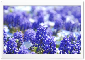 Grape Hyacinths HD Wide Wallpaper for Widescreen
