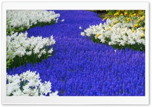 Grape Hyacinths And Daffodils Keukenhof Gardens Lisse Holland HD Wide Wallpaper for Widescreen