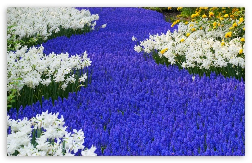 Grape Hyacinths And Daffodils Keukenhof Gardens Lisse Holland HD wallpaper for Standard 4:3 5:4 Fullscreen UXGA XGA SVGA QSXGA SXGA ; Wide 16:10 5:3 Widescreen WHXGA WQXGA WUXGA WXGA WGA ; HD 16:9 High Definition WQHD QWXGA 1080p 900p 720p QHD nHD ; Other 3:2 DVGA HVGA HQVGA devices ( Apple PowerBook G4 iPhone 4 3G 3GS iPod Touch ) ; Mobile VGA WVGA iPhone iPad PSP Phone - VGA QVGA Smartphone ( PocketPC GPS iPod Zune BlackBerry HTC Samsung LG Nokia Eten Asus ) WVGA WQVGA Smartphone ( HTC Samsung Sony Ericsson LG Vertu MIO ) HVGA Smartphone ( Apple iPhone iPod BlackBerry HTC Samsung Nokia ) Sony PSP Zune HD Zen ; Tablet 2 Android ;